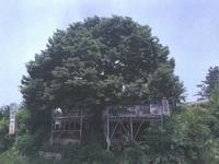 왕징면 북삼리 느티나무