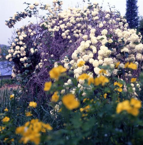 수국(꽃)  #14712