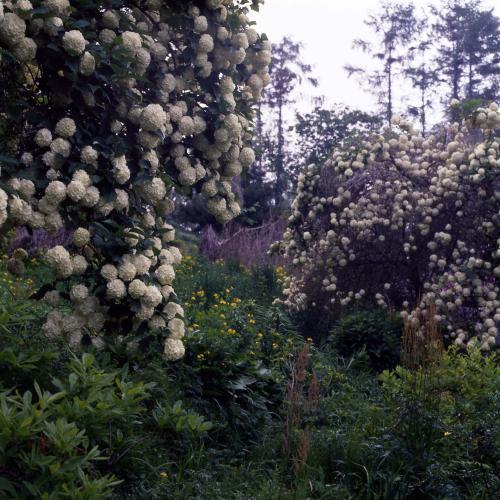 수국(꽃)  #14713