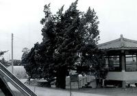 항나무(원두1리)